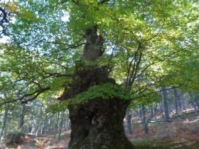 El Castañar de El Tiemblo , Un bosque mágico;tejo árbol;clubs senderismo madrid